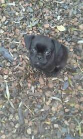 Adorable girl pugalier puppy/pup