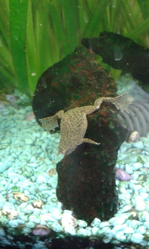 Three african dwarf clawed frogs aka congo frogs for for Fish tank frogs