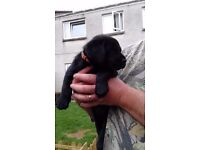 1lovely bitch left from 7.... kc registered labrador pup