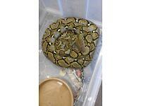 jampea retic python