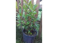 Bay tree in lovely condition.Aprox 15 inch high.