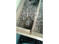 2 x Horsefield Tortoises and Full set-up