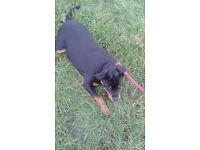 Rottweiler 6 months old female