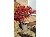 ACER PALMATUM DISSECTUM. almost 6ft tall including large good quality pot.