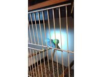 Pair of Celestail Parrotlets