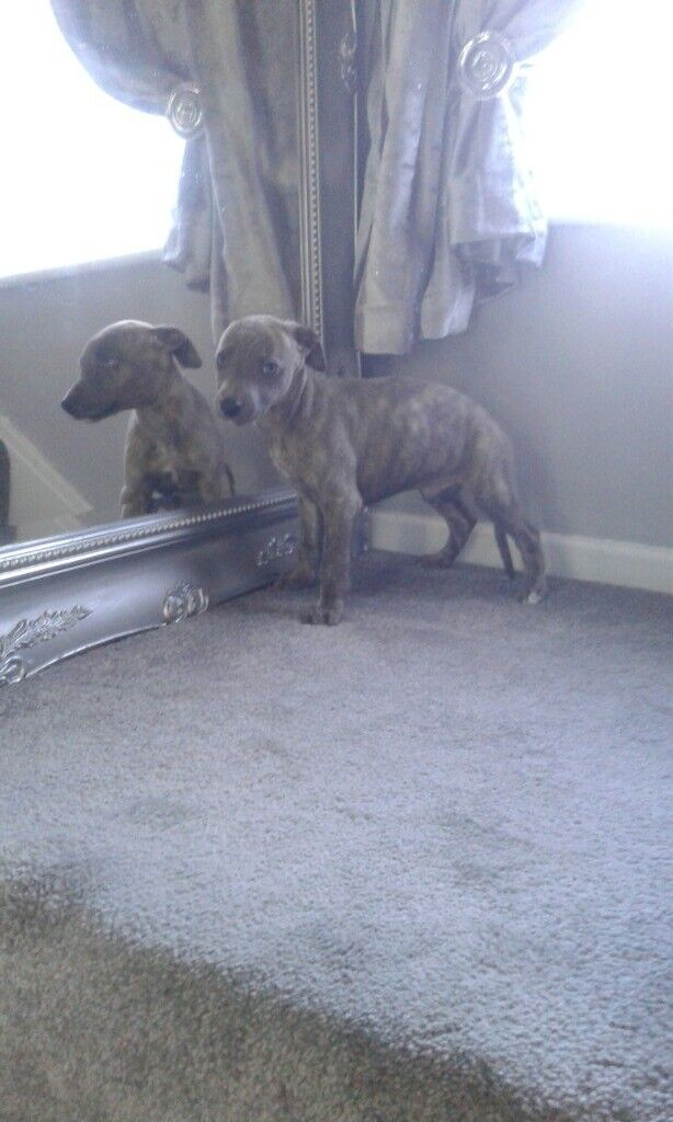 Stunning Whippet Pups For Sale In Ormesby North Yorkshire Gumtree