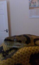 Cb14 female carpet python