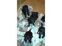 Black Springador puppies for sale