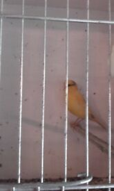 Canaries for sale, all male.Las years birds.