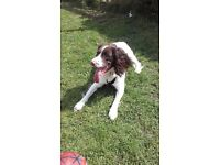 spaniel, 18 months old, £200...(no papers)