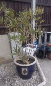 Blue ceramic plant pot with leaf motif (38cm diametre/30cm high). Oleanda included.