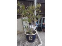 Blue ceramic plant pot with leaf motif (38cm diametre/30cm high). Oleanda included.