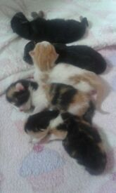 5 kittens born 22nd july 2018 all for sale except white and ginger one