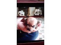 5 chihuahua x yorkie puppys for sake w boys 3 grile 4wks readyto see deposit to hold 350 each