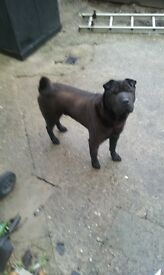 male sher pei for sale
