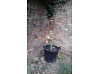 Plant for sale - weeping mulberry tree