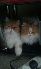 2 Persian Cats