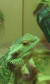 Bearded dragon for sale without viv