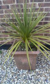 Cordyline plant