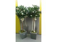 2 X Bay Tree's (Ideal for Weddings or other occasions