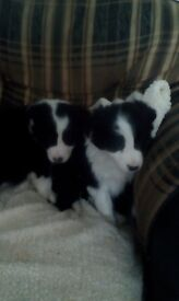 Lovely Traditional Border Collie puppies for sale
