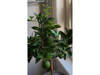 Orange tree standard whit full size fruit