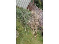 Bamboo Canes - Free