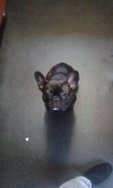 Female French Bull Dog for sale 10 months old great temperament and great with kids