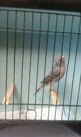 Blue lizard canary