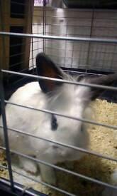 Birmingham rabbits for sale
