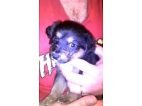 Beautiful female pup for sale