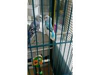 X4 young budgie & cage