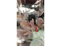 Continental Giant Baby Rabbits