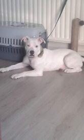 staffy pup (girl)