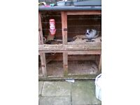 Lop bunnys for sale