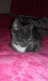Missing Kitten Inverurie area