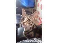 Missing Tabby Cat 2 years old ( missing since 28th January )