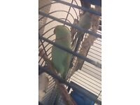 Ringneck parrot for sale with cage