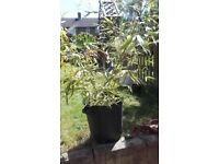 Large Bamboo plant in large pot.