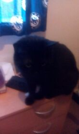2 year old male cat ( fully black)