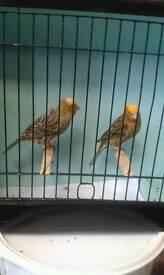 Pair lizard canarys