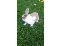 rabbits £10each