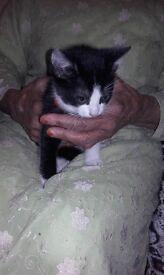 beautiful black and white tabby kitten