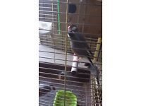 Java finches for sale with cage
