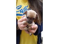 Chihuahua puppies pedigree