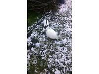 Male rabbits for sale