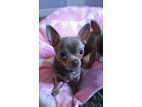 CHIHUAHUA LILLAC AND TAN SMALL LITTLE GIRL