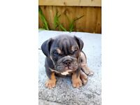 British Bulldog Puppies for sale*