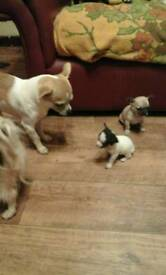 Stuning pure breed smooth coat chihuahua puppies
