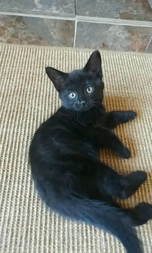 rare black smoke ghost tabby female kittens